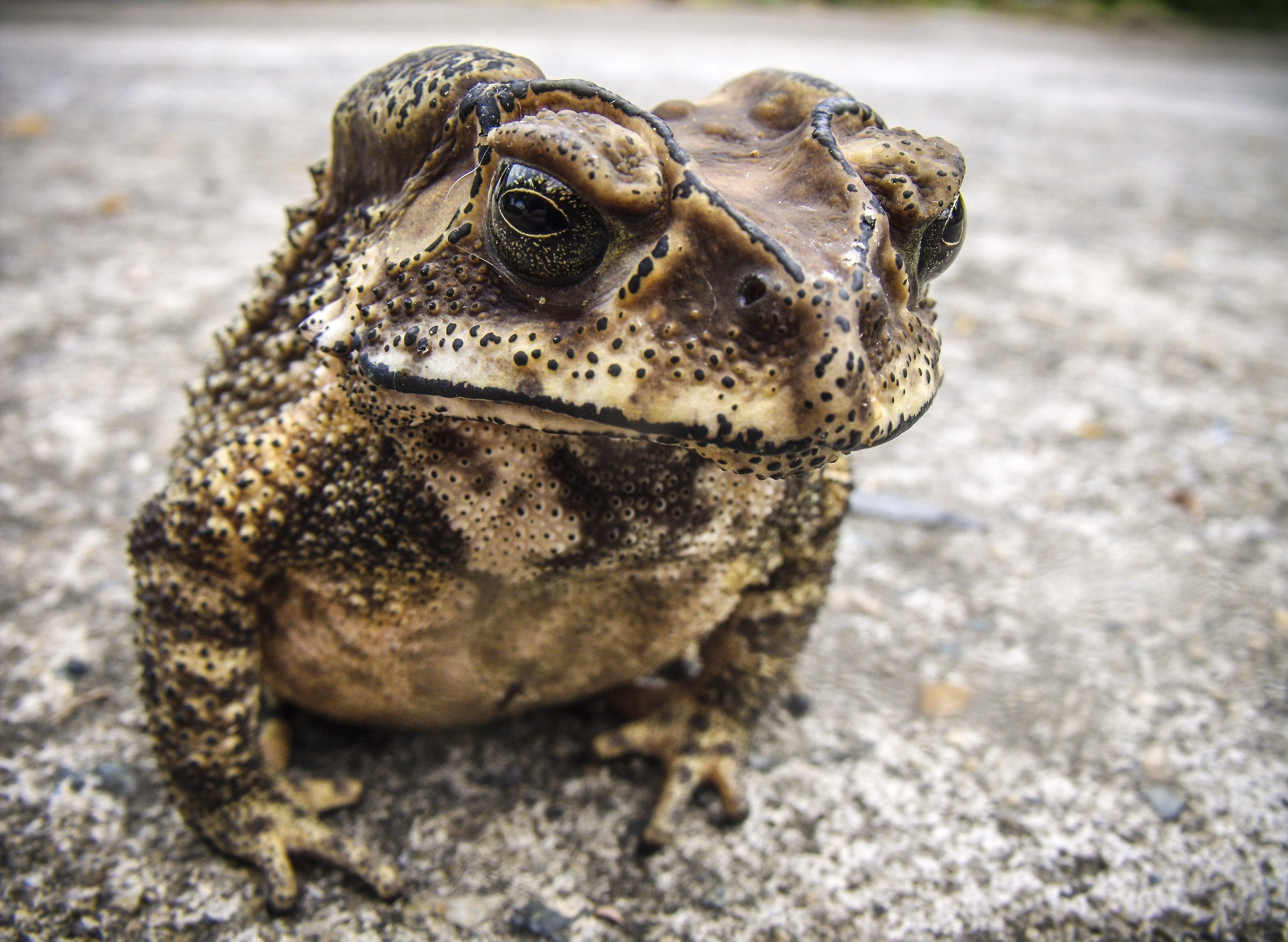 White Brown and Black Frog