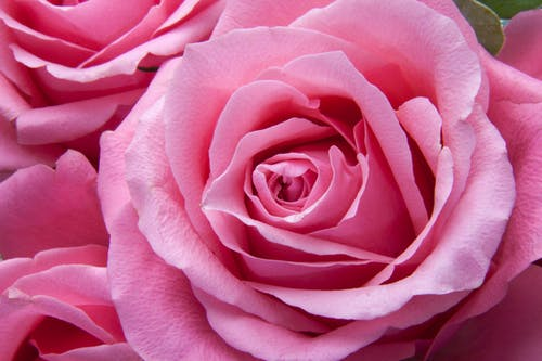 1000 Engaging Pink Roses Photos Pexels Free Stock Photos
