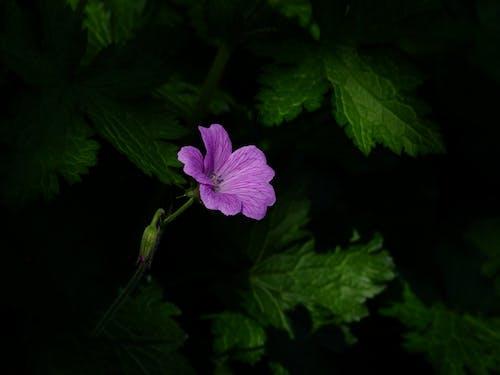 Kostnadsfri bild av blomma, flora, HD tapeter, lila