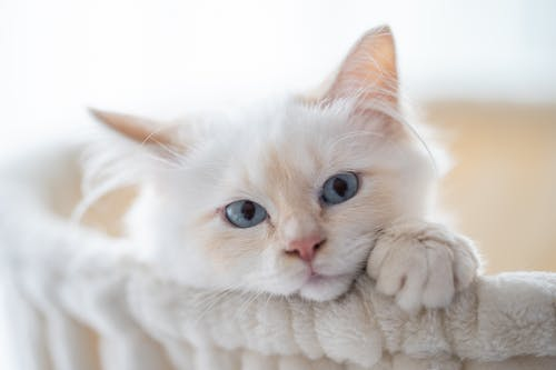 Adorable domestic cat with white fluffy fur and blue eyes in soft basket