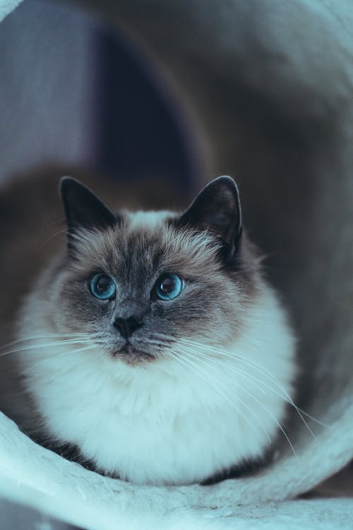 Curious purebred cat with gray muzzle