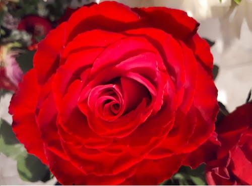 Photos gratuites de rose