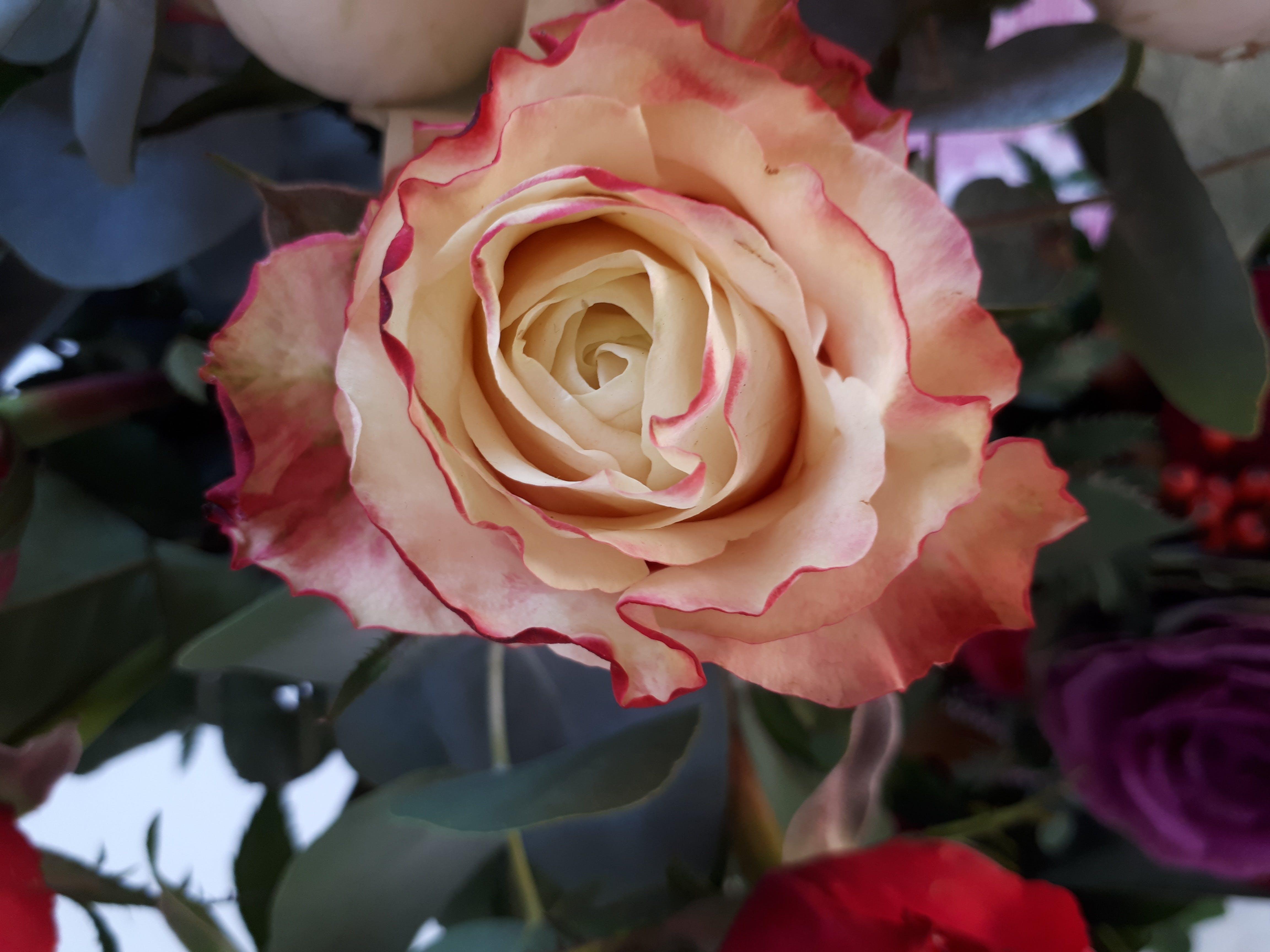 Free stock photo of rose