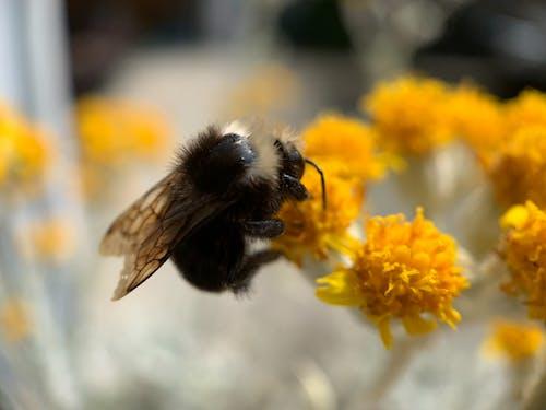 Free stock photo of honey bee, macro photo, macro photography