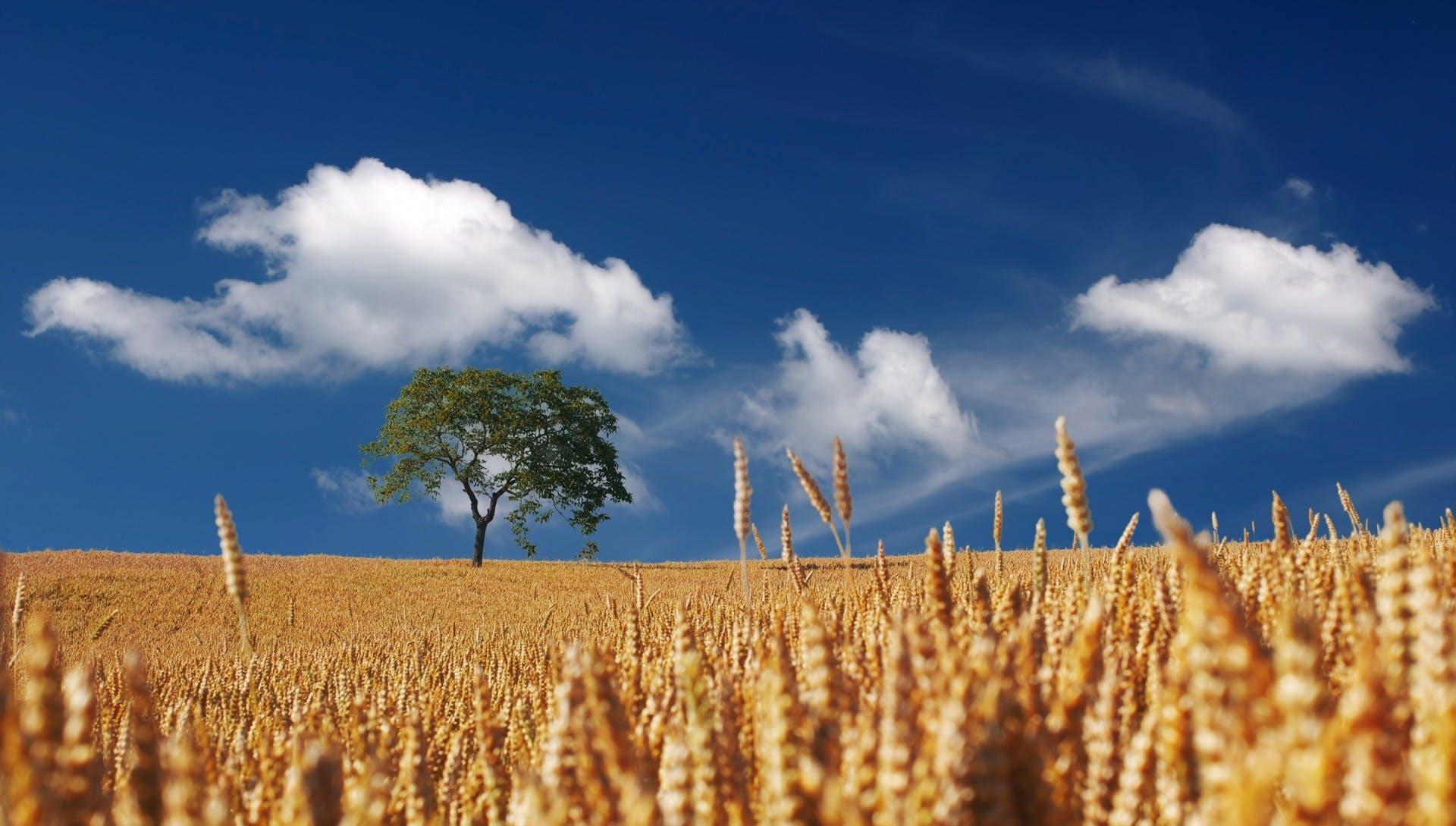 Trees on Yellow Wheat Field Under Blue Sky
