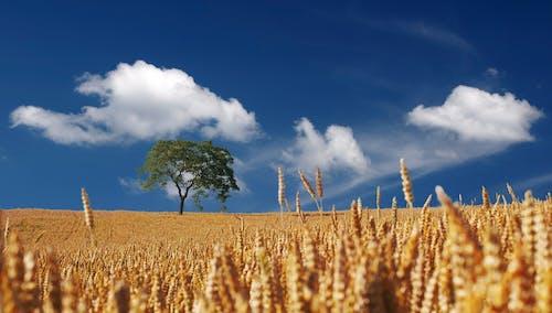 Бесплатное стоковое фото с дерево, небо, облака, поле