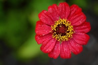 red, plant, flower