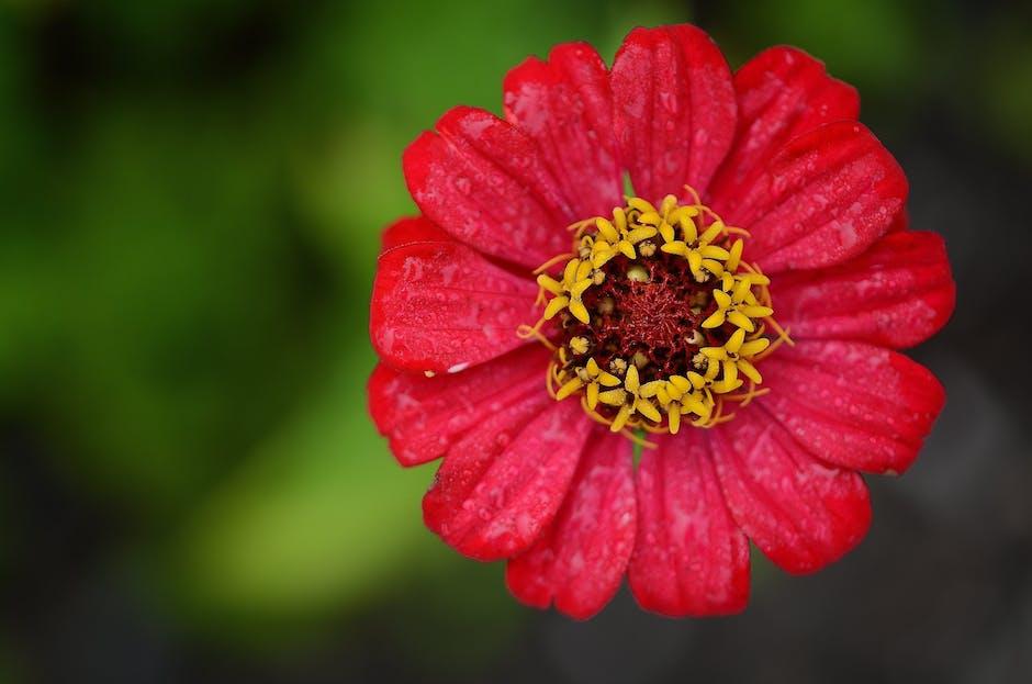 اجمل خلفيات ورود 2017,اجمل الخلفيات ورد حمراء جديدة رومانسية طبيعية للكمبيوتر لعشاق zinnia-red-flower-le