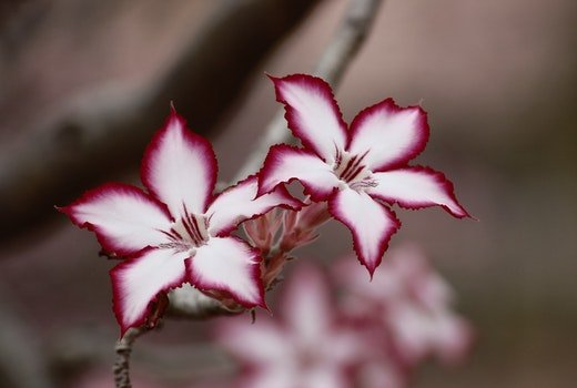 Macro Photo of White and Pink Flowers