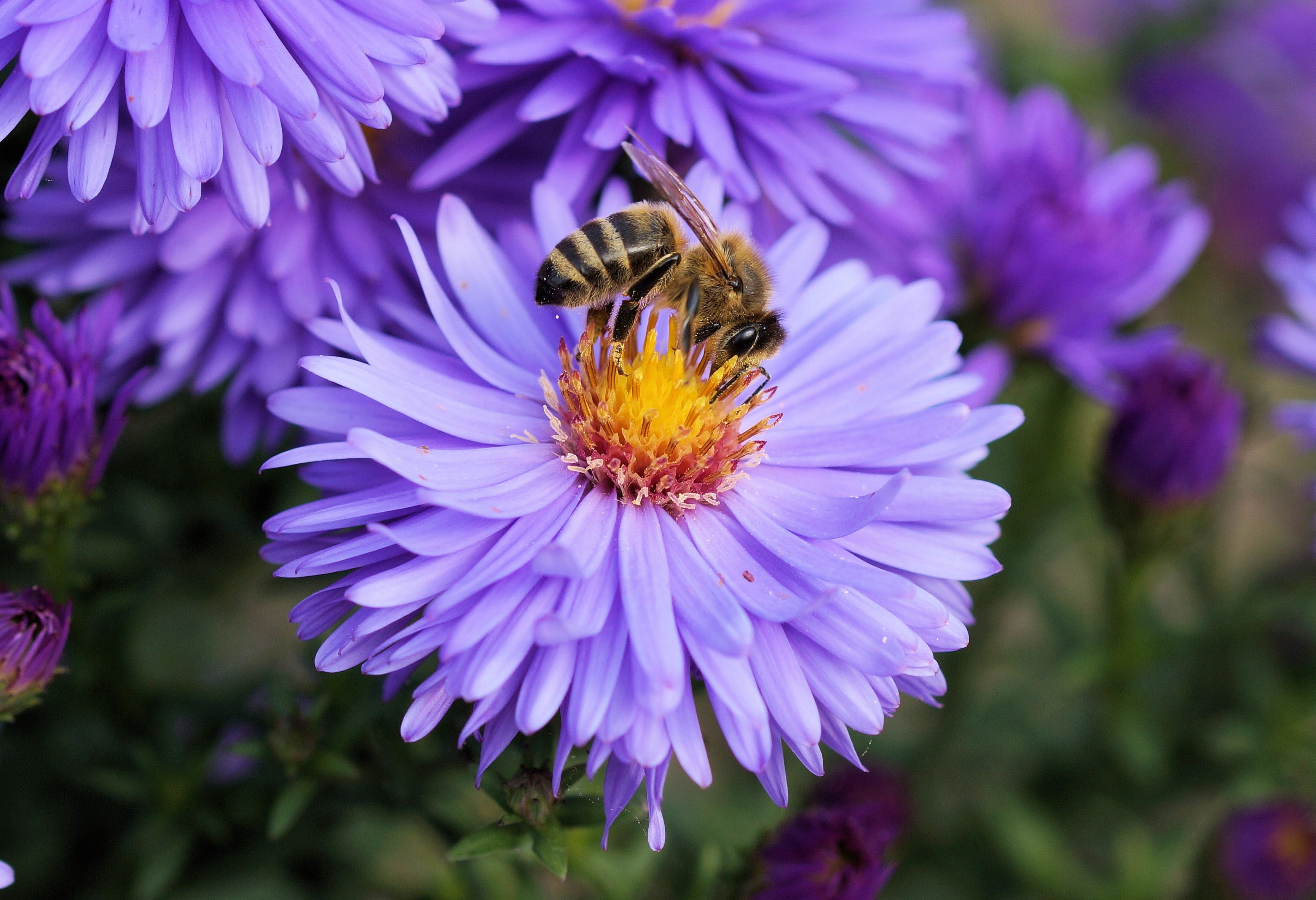 Close Up Photo of Bee on Top of Purple Flower