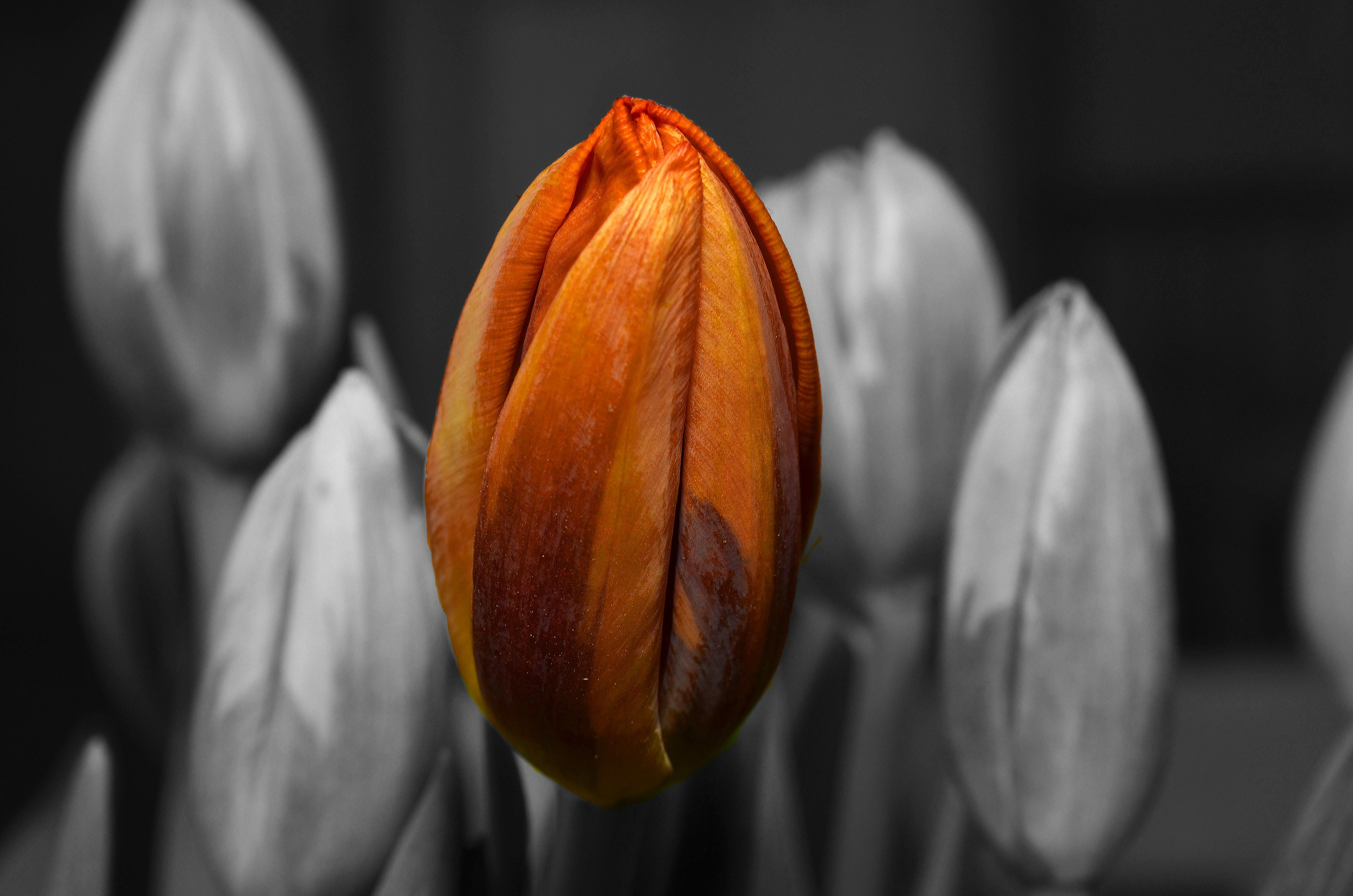 Selective Color Photography of Orange Tulip