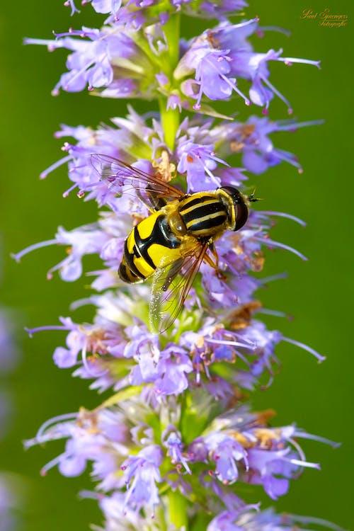 Foto d'estoc gratuïta de abella, flora, florir, flors