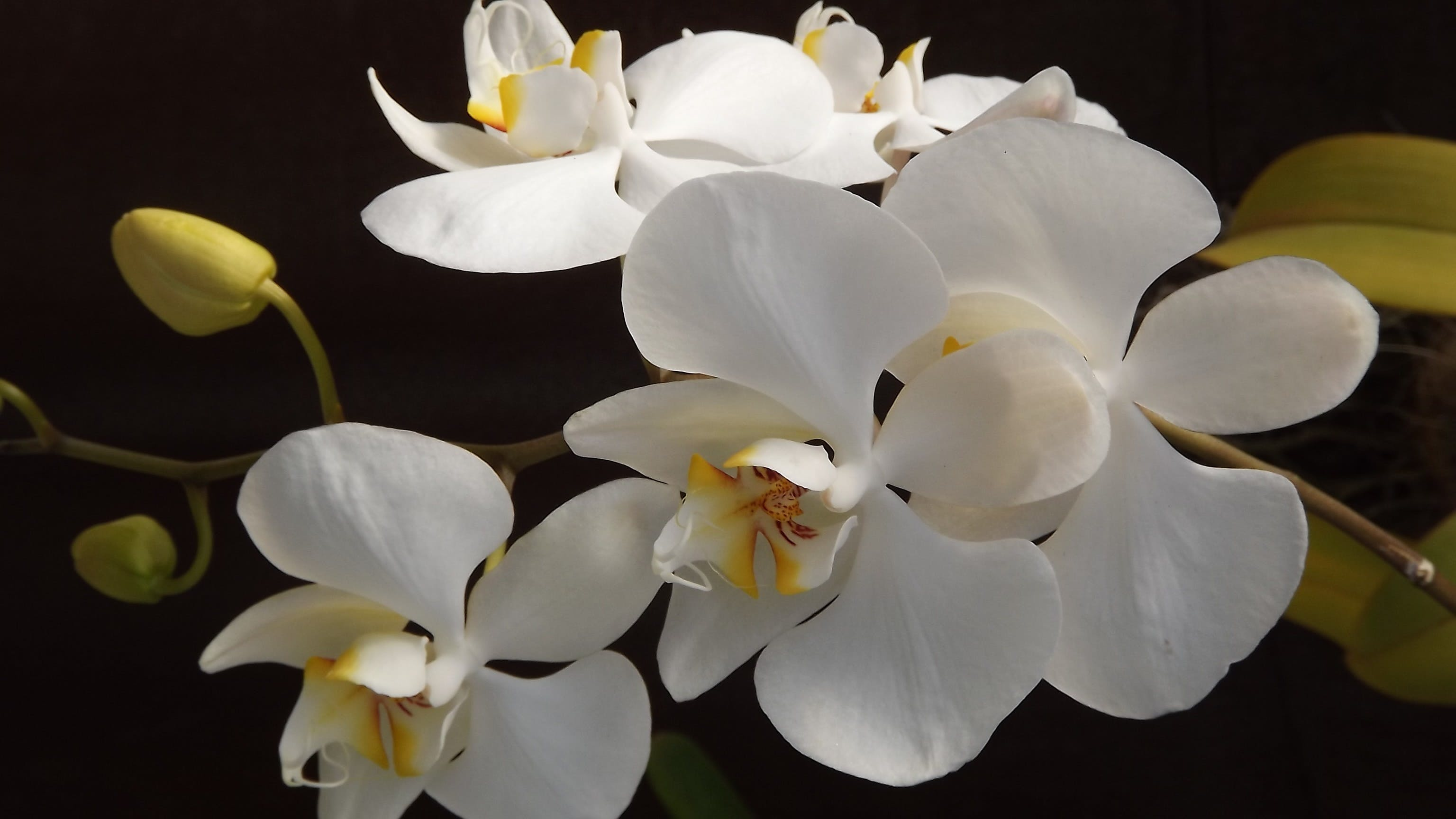 White and Yellow Orchid Flowers