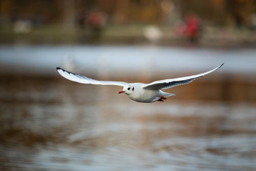 Seabird with white plumage and spread wings flying over rippled river in town on blurred background