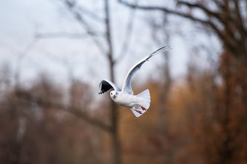 Seagull flying against autumn trees in daytime
