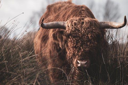 Free stock photo of animal, bull, cattle