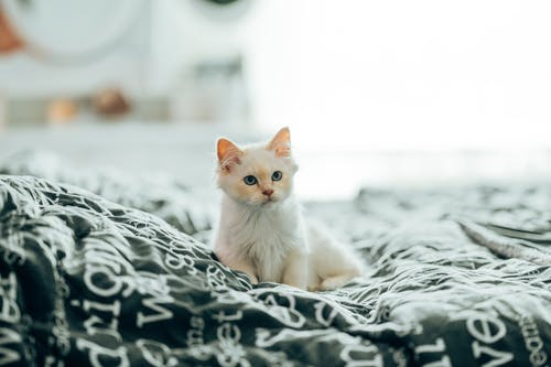 White fluffy domestic cat with blue eyes sitting on bed in flat in daytime