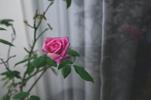 A Pink Rose in Bloom