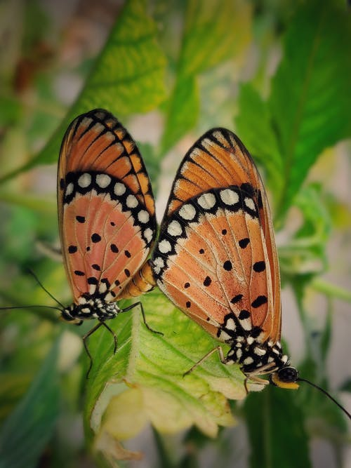 Free stock photo of butterflies, butterfly, butterfly mating