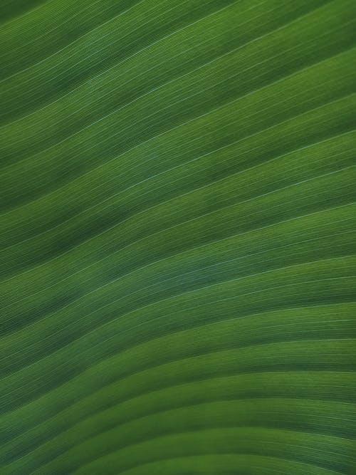 Close Up Shot of a Banana Leaf