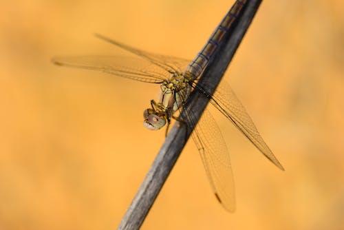 Fotos de stock gratuitas de alas de libélula, disparo macro, fondo amarillo