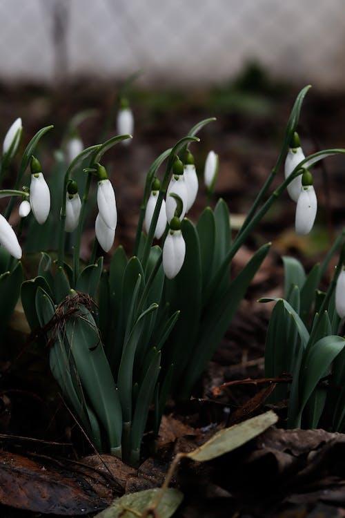 Blooming snowdrop flowers growing in garden