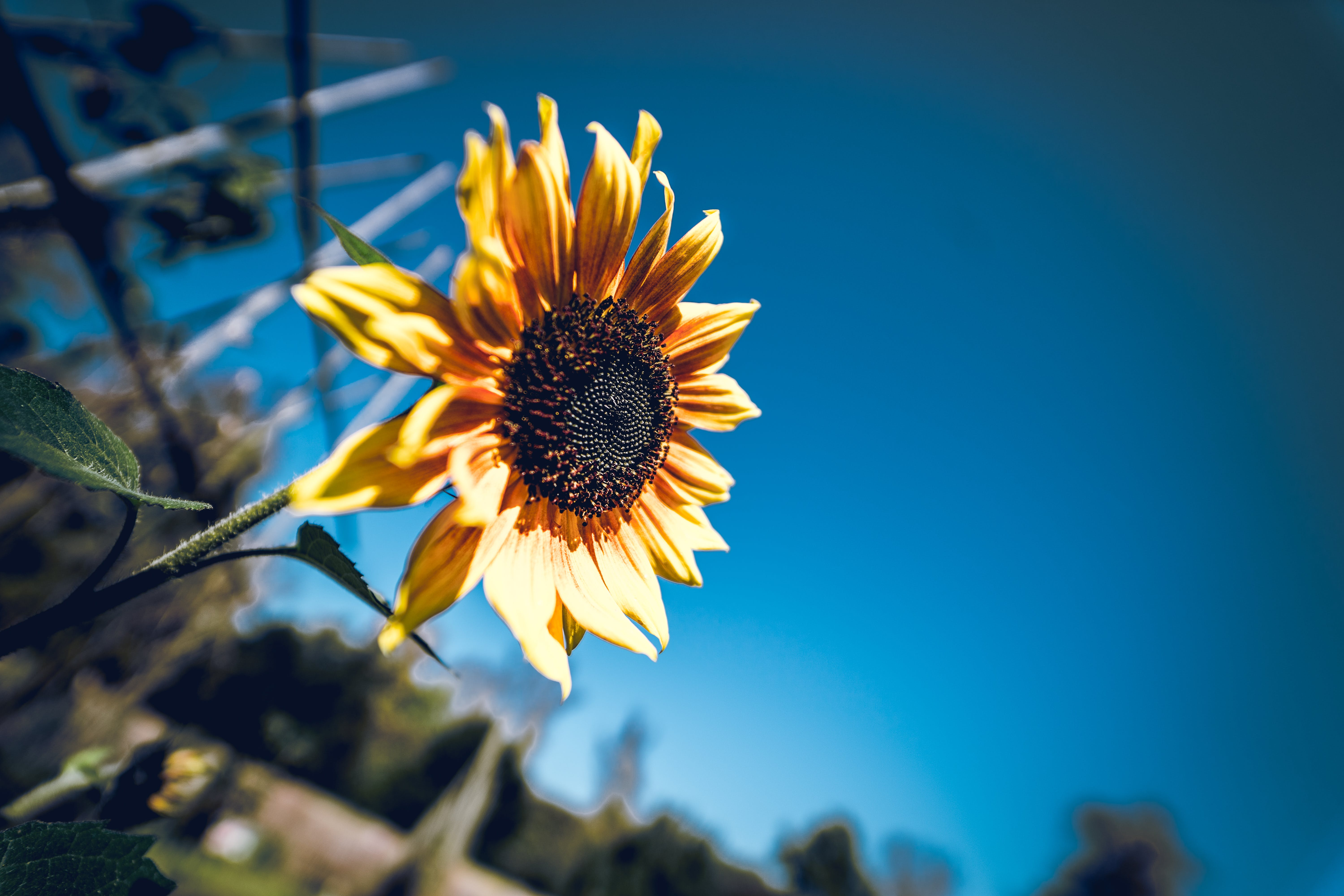 Tilt Shift Photography of Sunflower