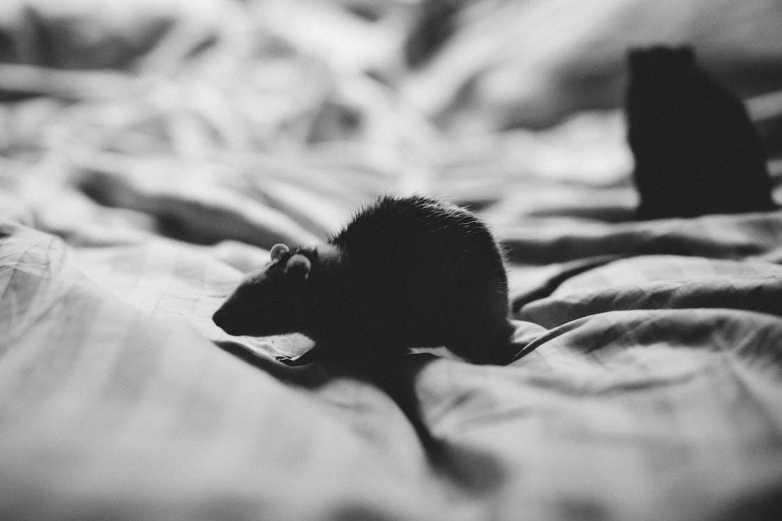 cicavec, čierna a biela, čiernobiely