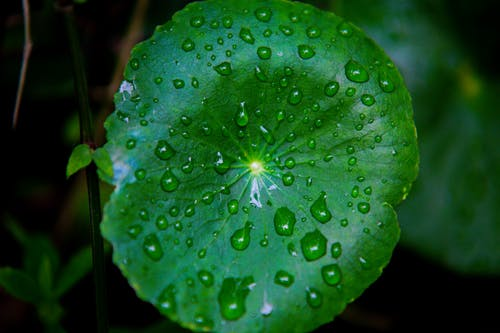 Round green leaf covered with drops