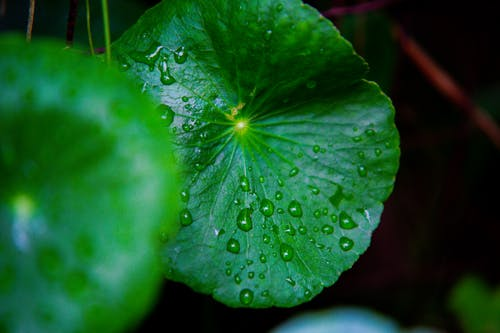Round green leaves with drops of dew