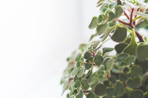 Foto d'estoc gratuïta de planta, planta d'interior, primer pla, verd