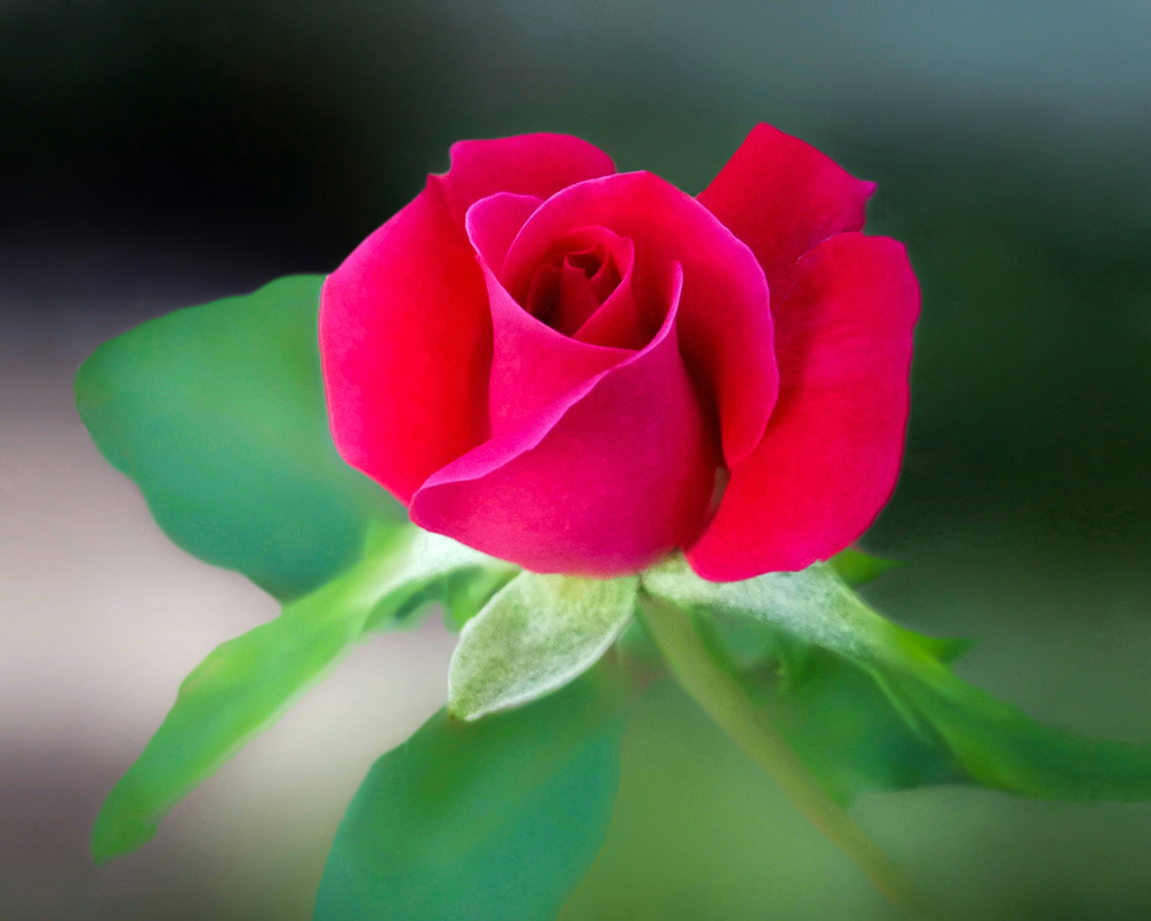 Red Rose Flower Free Stock Photo