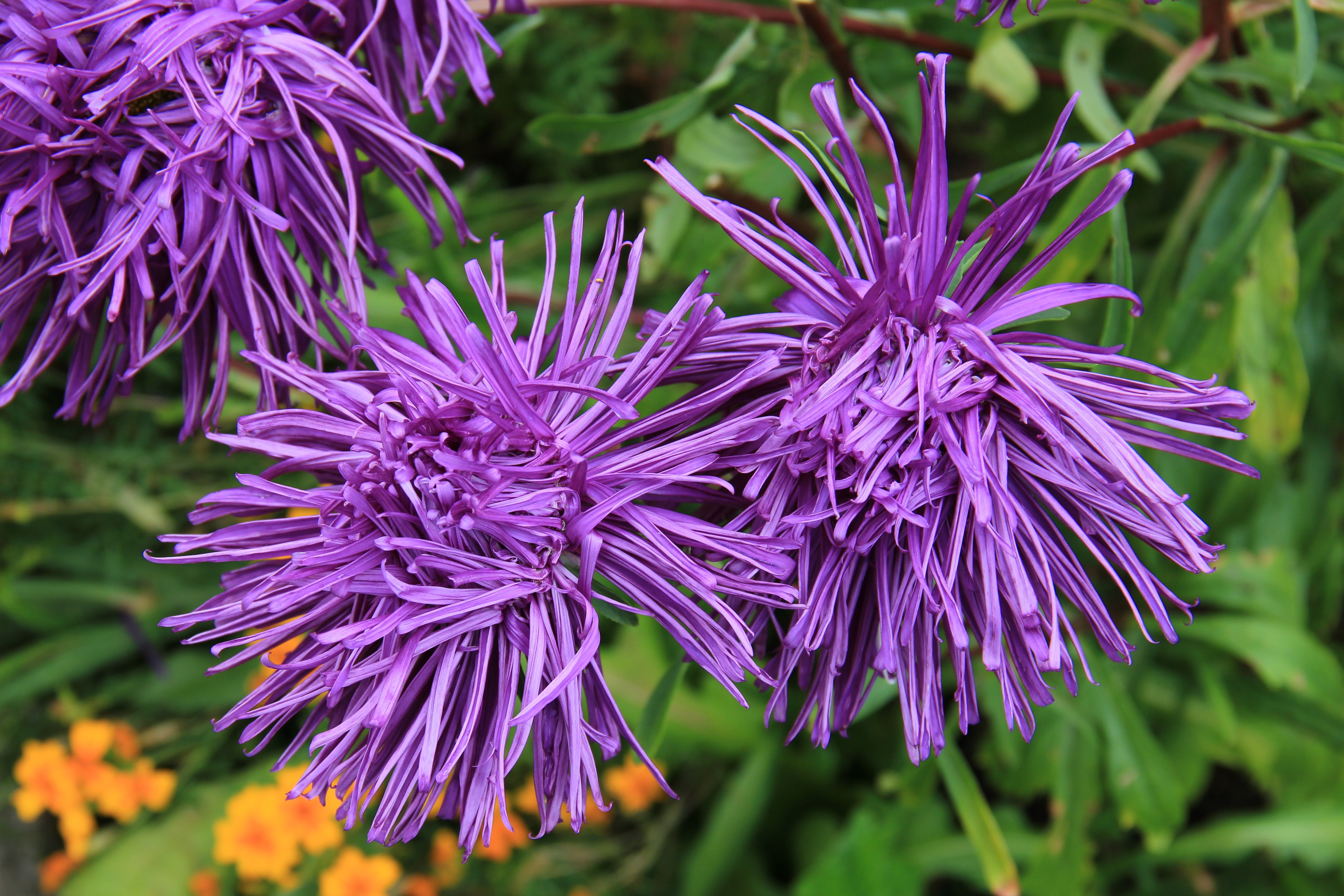 Free stock photo of purple, plant, flower, bloom