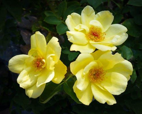 Ảnh lưu trữ miễn phí về hoa hồng vàng, Hoa màu vàng