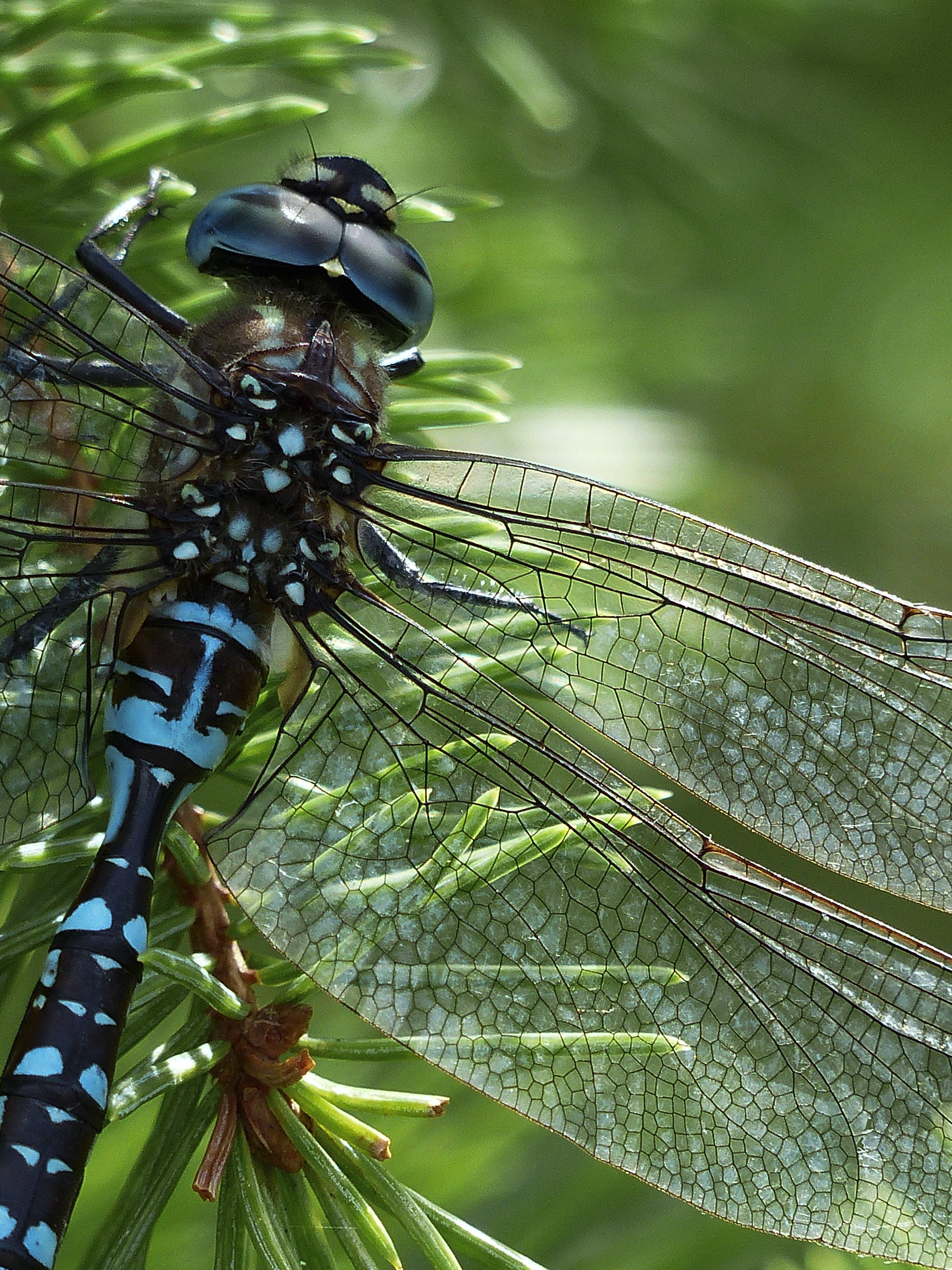 Blue Black Dragonfly