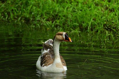 Fotos de stock gratuitas de animales, cisne, cisne en el estanque
