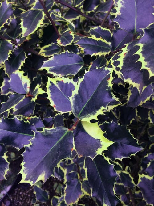 Free stock photo of colorful leaves, decorative plant, leaves