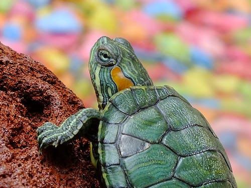 Kostnadsfri bild av djur, makro, närbild, sköldpadda