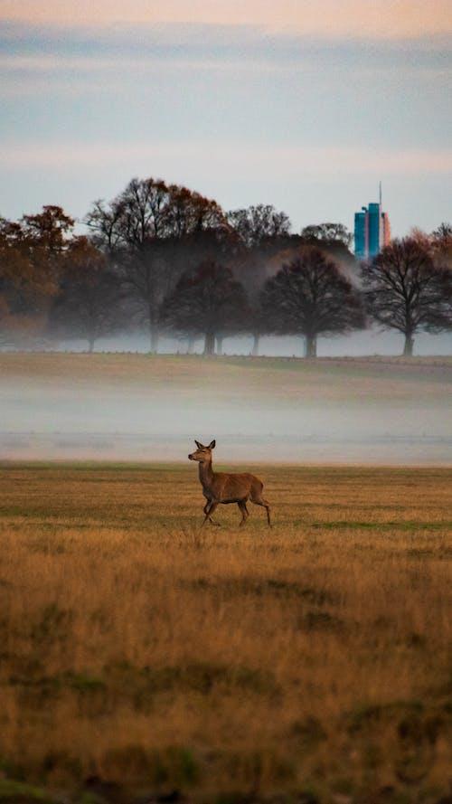 Brown Deer on Brown Grass Field