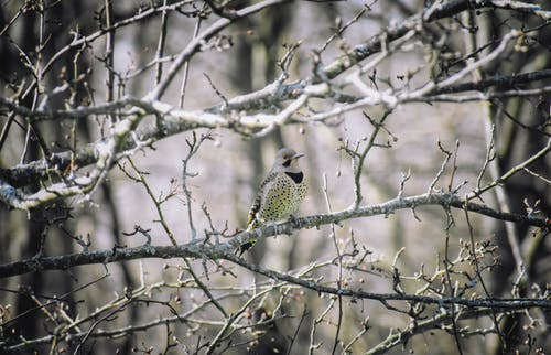 Flicker sitting on leafless branch