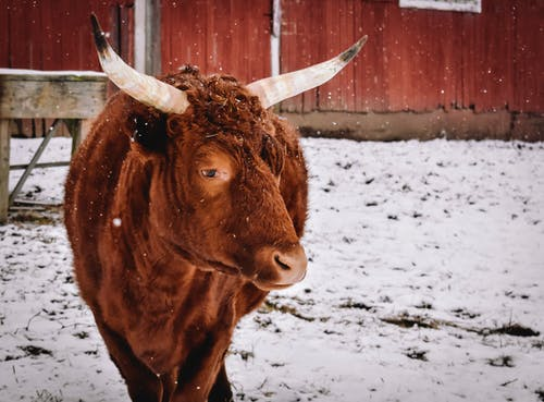 Big bull with brown fur and horns standing on snowy ground in paddock near fence in countryside on winter day
