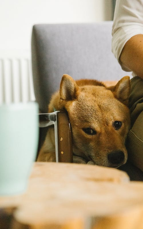 Funny Shiba Inu dog resting on armchair near crop owner