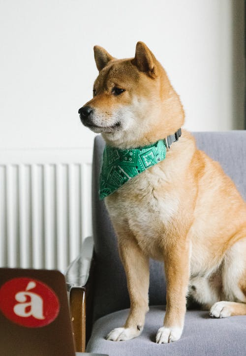 Smart young Shiba Inu dog with stylish scarf on neck sitting on comfortable armchair and watching video on netbook