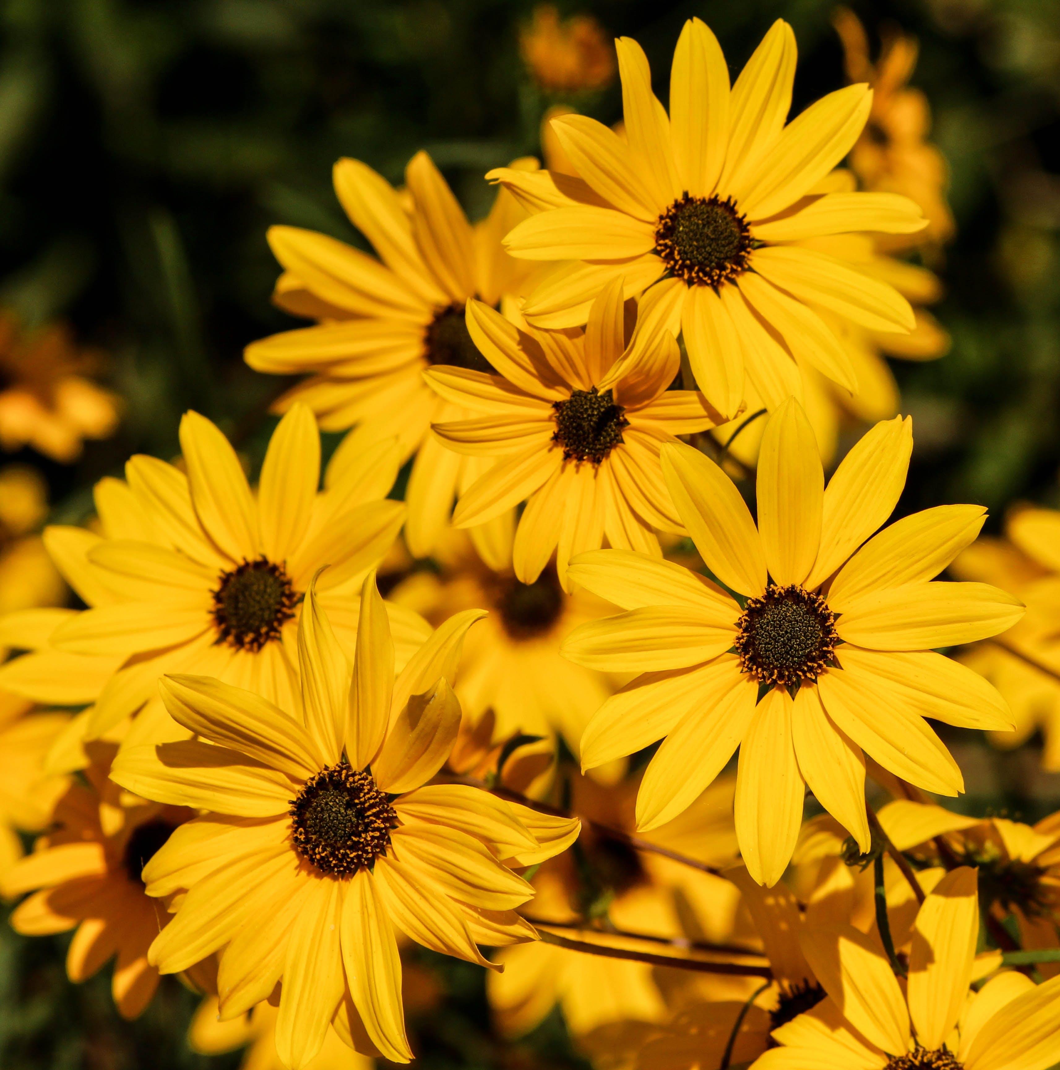 Yellow Daisies Tilt Shift Lens Photography