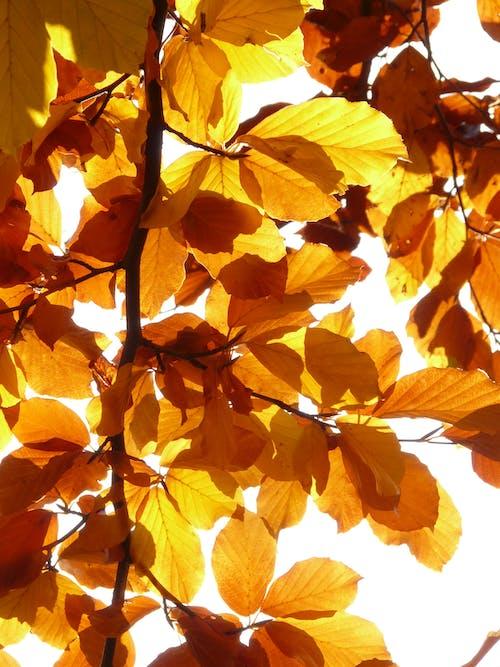 ağaç, akçaağaç, altın, altından içeren Ücretsiz stok fotoğraf