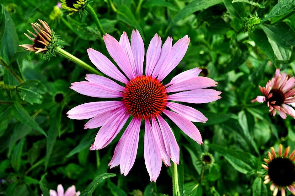 echinacea, flora, floral