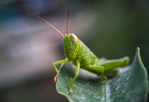 Green Grasshopper in Macro Photography