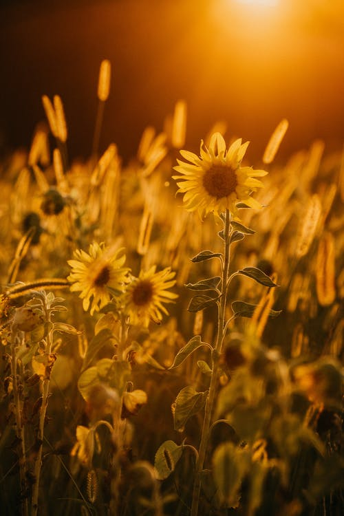 Bright yellow sunflowers blossoming on vast lush field at picturesque sunset in peaceful countryside