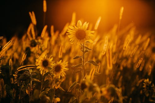 Blooming sunflowers growing on spacious lush lawn at sunset