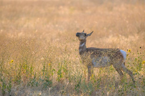 Side view of adorable female pronghorn antelope standing on grassy meadow on sunny day